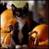 Kitten pumpkins