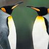 Penguins face off