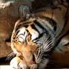 Siberian Tiger jpg