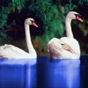 Two Swans 2