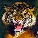 tigers lions avatars 0067