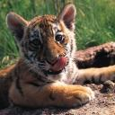 tigers lions avatars 0198