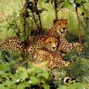tigers lions avatars 0332