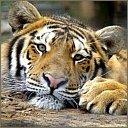 tigers lions avatars 2069