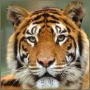 tigers lions avatars 2082